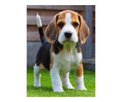 REGISTERED BEAGLE PUPPIES AND LABRADOR | MALE AND FEMALE AVAILABLE