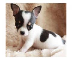 REGISTERED CHIHUAHUA PUPPIES AND LABRADOR | MALE AND FEMALE AVAILABLE