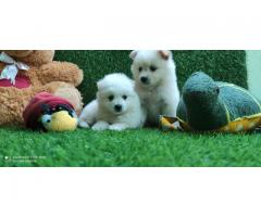 REGISTERED POMERANIAN PUPPIES AND GOLDEN RETRIEVER   MALE AND FEMALE AVAILABLE