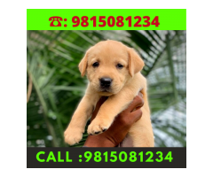 Golden Labrador Puppies  For sale in Chandhigarh  .call: 9815081234