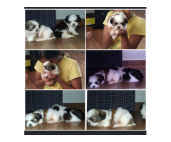 Healthy Male Shih Zhu for Sale in Bangalore