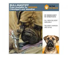 Buy Bullmastiff Puppies In Delhi @ 9888341827