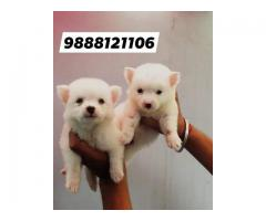 Pomeranian puppy available in jalandhar city 9888121106