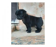 Adorable Cute Looking Pug Pups For Sale Call Me 9899803008