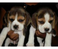 Best Adorable Cute Looking Beagle Puppies For Sale Call Me at 9555944924