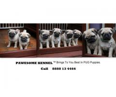 Super Cute Pug Puppies at Pawesome Kennel - 8888134466