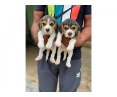 Top quality puppies available in Chennai 8428557069