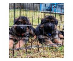 GERMAN SHEPHERD LONG COAT PURE QUALITY PUPPIES ONLY AT CHENNAI-8825694373