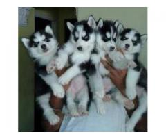 SMART PURE BREED KCI AND VACCINATED HUSKY BLUE EYES PUPPIES FOR SALE BOTH MALE AND FEMALE AVAILABLE