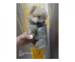 Too handsome and innocent Toy pom