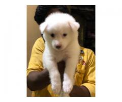Top quality  Pomeranian puppies available in Chennai contact no:9791152871