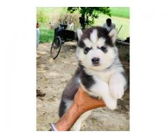 Adorable Siberian husky pups available for new home