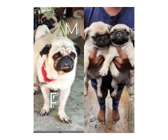 Vodafone cute pug pups available for new home