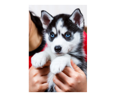 blue eyes Siberian husky pups for sale in Indore 898256958