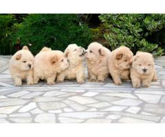 Chow chow pups available show line breeding pups good quality ever