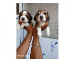 Beagle puppies available in Chandigarh ready for new home
