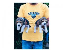 Beagle puppies available show line breeding pups good quality ever seen