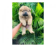 Chow chow pups available in Mumbai and pune