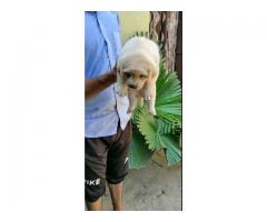 HEAVY QUALITY LABRADOR PUP IN DELHI CONTACT US ON 7042450221