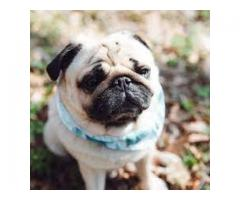 Pug For Avail