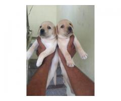 Laberdog  puppy available in Chennai contact 8754 615 589