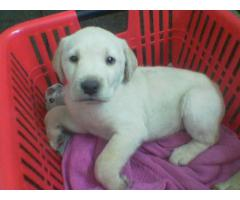 TOP QUALITY LABRADOR PUPS AVAILABLE IN LUCKNOW CALL 8009486913