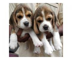 BEAGLE BEAUTIFUL PURE QUALITY PUPPIES IN  CHENNAI-8825694373