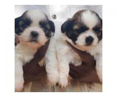 SHITZHU ADORABLE TOY BREED PUPPIES AVAILABLE IN CHENNAI- 8825694373