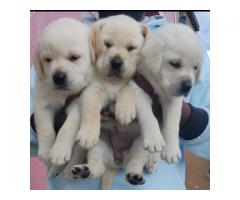 LABRADOR ORIGINAL SHOW BREED PUPPIES AVAILABLE IN CHENNAI-  8825694373