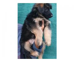 GERMAN SHEPHERD LONG COAT EXCELLENT QUALITY PUPPIES AVAILABLE IN CHENNAI-  8825694373