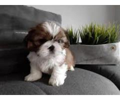 BEST QUALITY SHIH TZU PUPPY AVAILABLE FOR SALE @7042450221