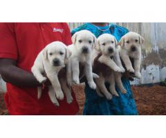 Lab male and female available