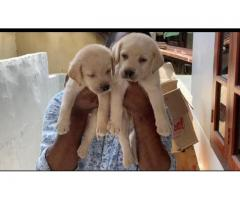 Fawn Labradar heavy size puppies for avbl
