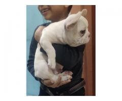 TOP PURE BREED CERTIFIED FRENCH BULLDOG PUPPS ARE WAITING TO GO NEW HOMES