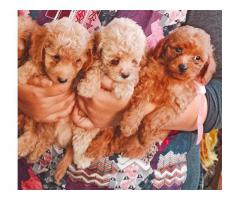APRICOT TOY POODLE IN BEST QUALITY PUP EVER CALL OR WHATSAAP ON 7042450221
