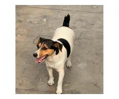 9716575323 Smart Jack Russell terrier puppies available