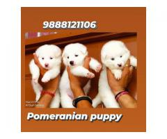 #petshop #in #jalandhar #pomeranian #puppy #avliable 9888121106