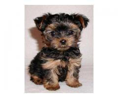 Yorkshire Terrier Puppies Available Here Trust Kennel