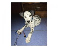 3 months Old Male Dalmatian Puppy