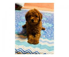 POODLE PUPPY WITH BEST QUALITY | 9354699839
