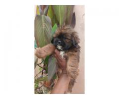 Superb Class Quality Lhasa Apso Pups For Sale.call Me 9654249090.