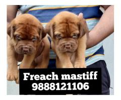 French mastiff puppy buy and sell in jalandhar city 9888121106