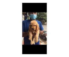 Top quality Cockerspainel Puppy available
