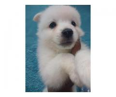 Cute Looking Spitz Pups Available Here Trustdogsales 9899803008