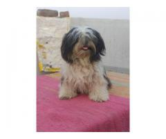 9205546224 ROYAL ORCHID PAWS CERTIFIED LHASA APSO PUPPS AVAILABLE
