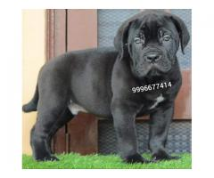 Import Pedigree Cane Corso puppies available
