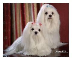 Maltese puppy for sale in delhi ncr at best price