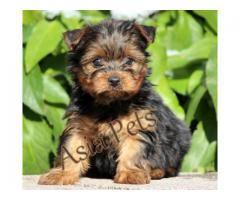 Cute Yorkshire terrier puppy for sale in delhi ncr