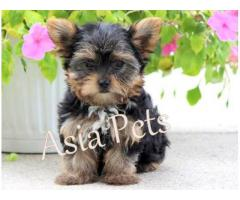 Healthy pup Yorkshire terrier puppy for sale in delhi ncr at best price