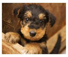 Superb Quality Yorkshire terrier puppy for sale in delhi ncr at best price.